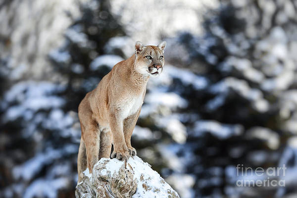 Big Cat Wall Art - Photograph - Portrait Of A Cougar, Mountain Lion by Baranov E
