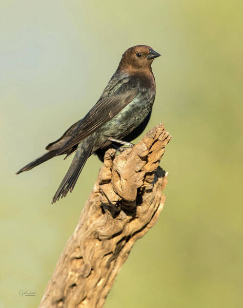 Photograph - Portrait Of A Cowbird by Judi Dressler
