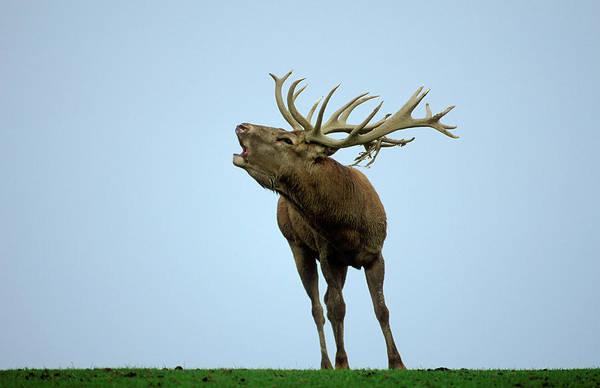 Howling Photograph - Portrait Of A Deer by Franz Aberham