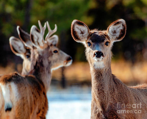 Photograph - Portrait Of A Doe Mule Deer by Steve Krull