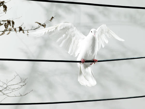 Body Parts Photograph - Portrait Of A Dove Landing On A Wire by Michael Blann