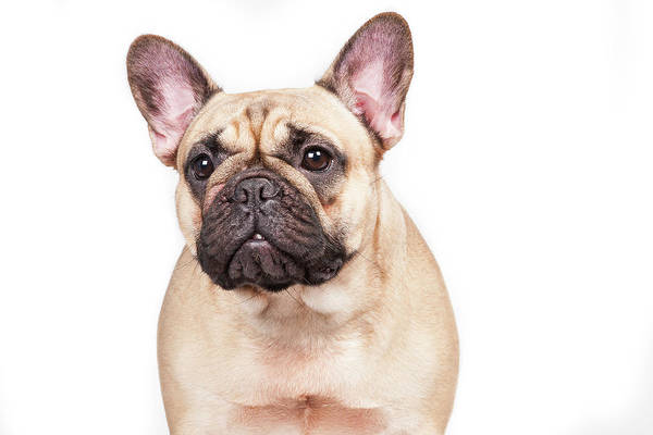 French Bulldog Photograph - Portrait Of A French Bulldog by @hans Surfer