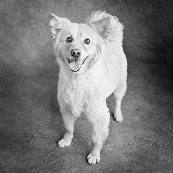 Wall Art - Photograph - Portrait Of A Golden Chow Mix Dog by Panoramic Images