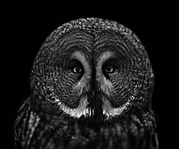 Concentration Photograph - Portrait Of A Great Grey Owl by Chris Jolley