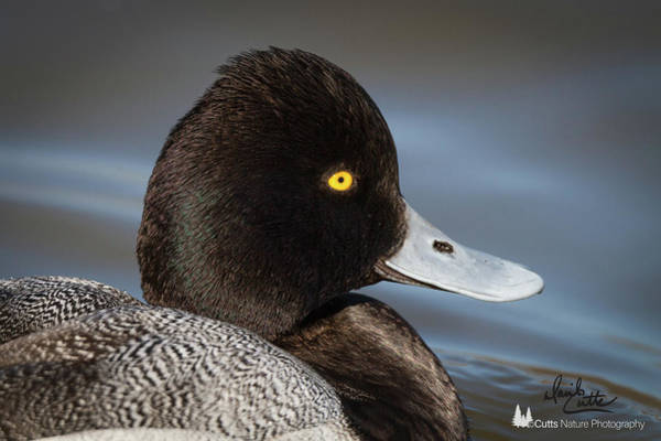 Photograph - Portrait Of A Greater Scaup by David Cutts