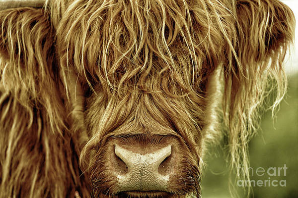 Photograph - Portrait Of A Highland Cow In Black Gold by Maria Gaellman