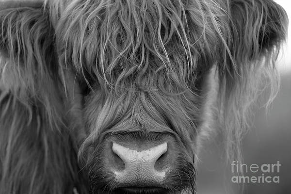 Photograph - Portrait Of A Highland Cow In Monochrome by Maria Gaellman