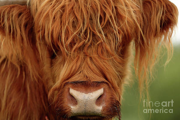 Photograph - Portrait Of A Highland Cow by Maria Gaellman