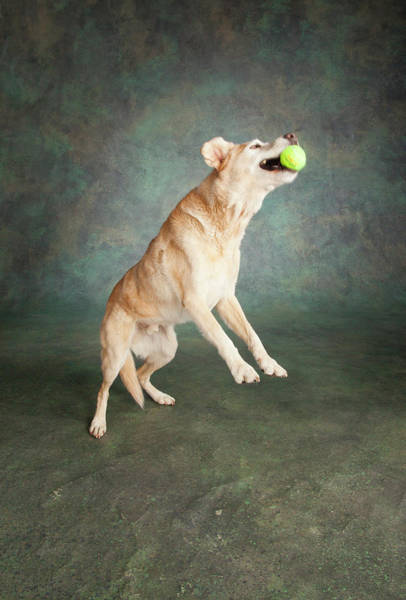 Wall Art - Photograph - Portrait Of A Lab Mixed Dog by Panoramic Images