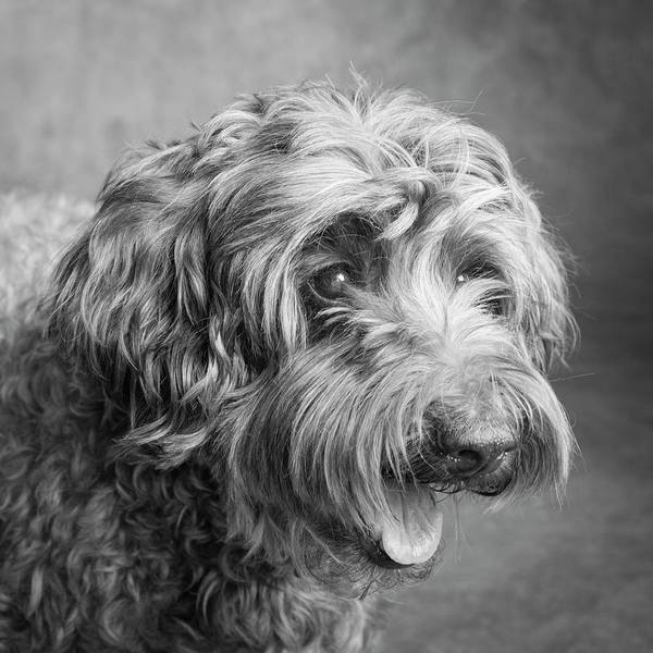 Wall Art - Photograph - Portrait Of A Labradoodle Dog by Panoramic Images