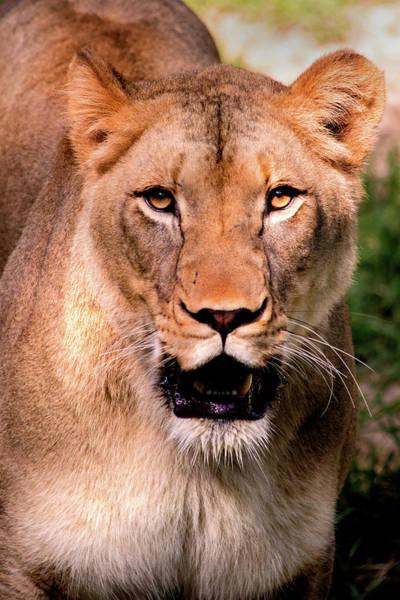 Photograph - Portrait Of A Lioness by Don Johnson