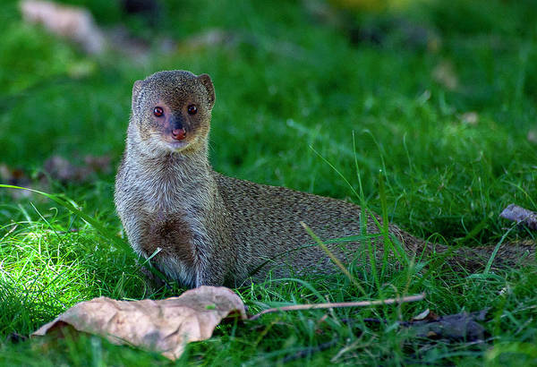 Photograph - Portrait Of A Mongoose by Anthony Jones