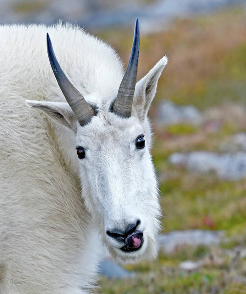 Photograph - Portrait Of A Mountain Goat by Judi Dressler