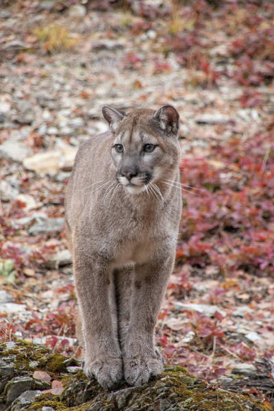 Photograph - Portrait Of A Mountain Lion 6794 by Teresa Wilson