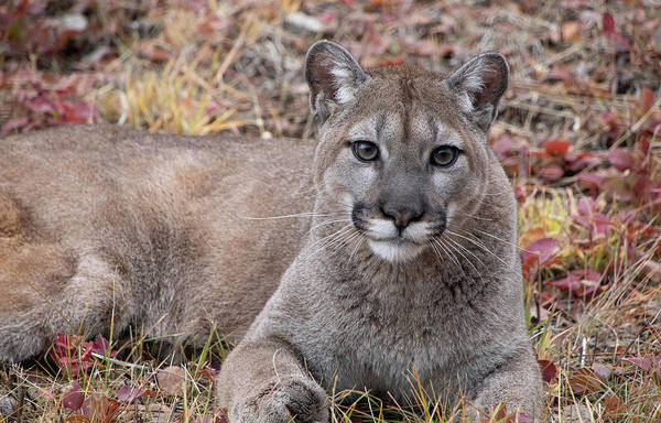 Photograph - Portrait Of A Mountain Lion 6816 by Teresa Wilson