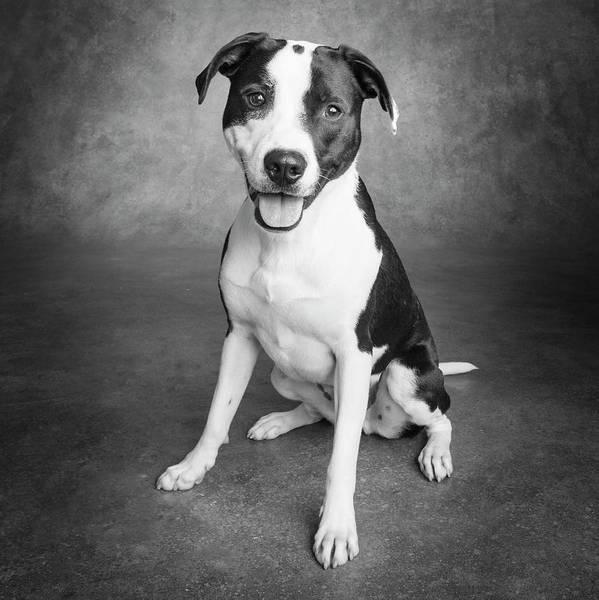 Wall Art - Photograph - Portrait Of A Pointer Terrier Mixed Dog by Panoramic Images