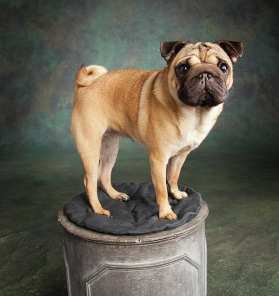 Pug Photograph - Portrait Of A Pug Mixed Dog by Panoramic Images