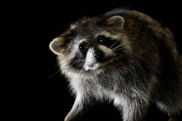 Raccoons Photograph - Portrait Of A Raccoon by Jan Stromme