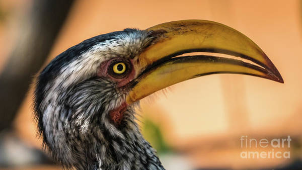 Photograph - Portrait Of A Southern Yellow-billed Hornbill, Namibia by Lyl Dil Creations