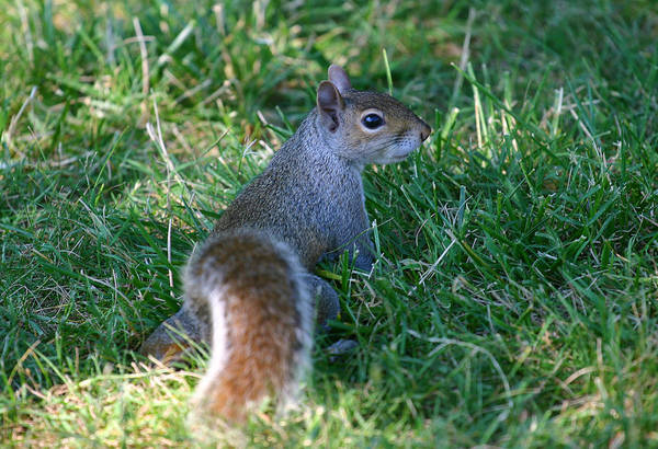 Photograph - Portrait Of A Squirrel by Anthony Jones
