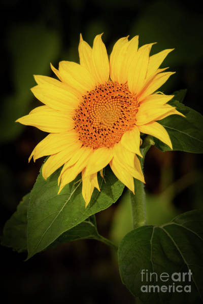 Photograph - Portrait Of A Sunflower by Sabrina L Ryan