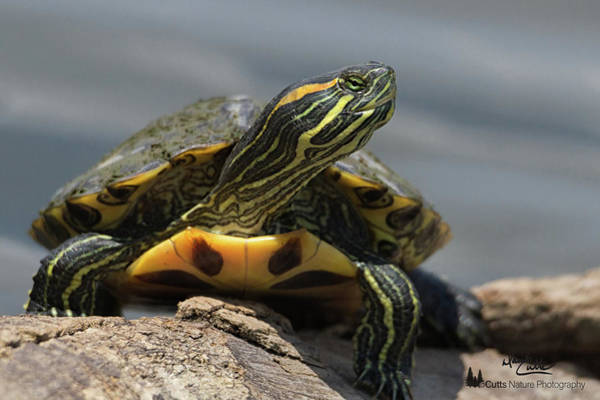 Photograph - Portrait Of A Turtle by David Cutts