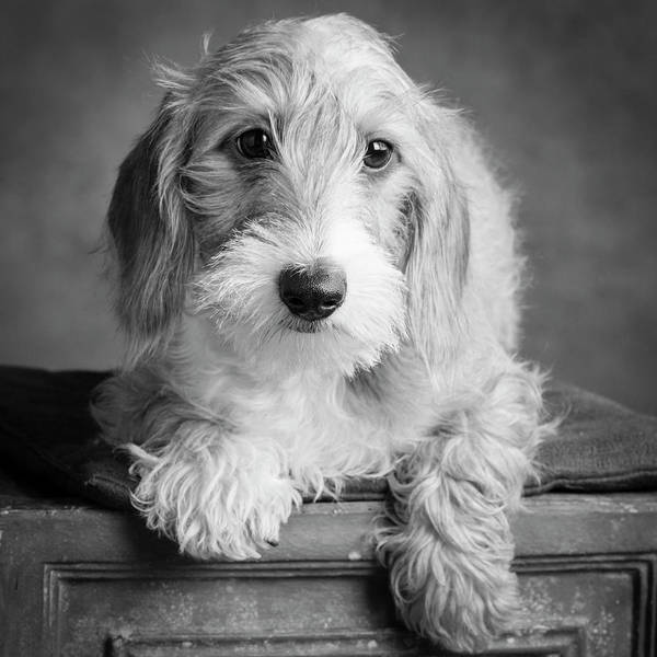 Wall Art - Photograph - Portrait Of A Wire Hair Mini Dachsund by Panoramic Images