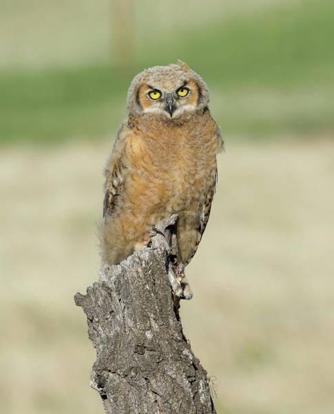 Photograph - Portrait Of A Young Great Horned Owl by Judi Dressler