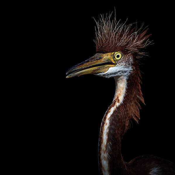 Photograph - Portrait Of A Young Heron by Cyndy Doty