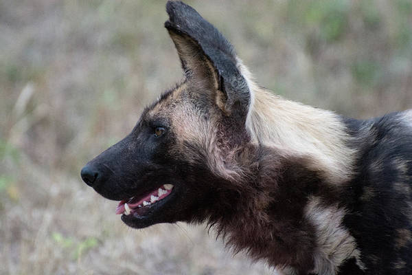Photograph - Portrait Of An African Wild Dog by Mark Hunter