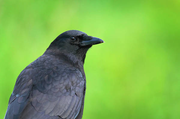 Photograph - Portrait Of An American Crow by Sharon Talson