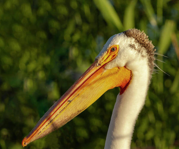 Photograph - Portrait Of An American White Pelican 2014-2 by Thomas Young