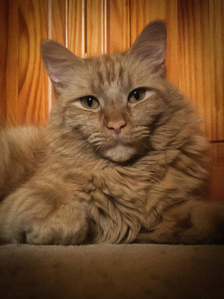 Photograph - Portrait Of An Orange Cat by Guy Whiteley