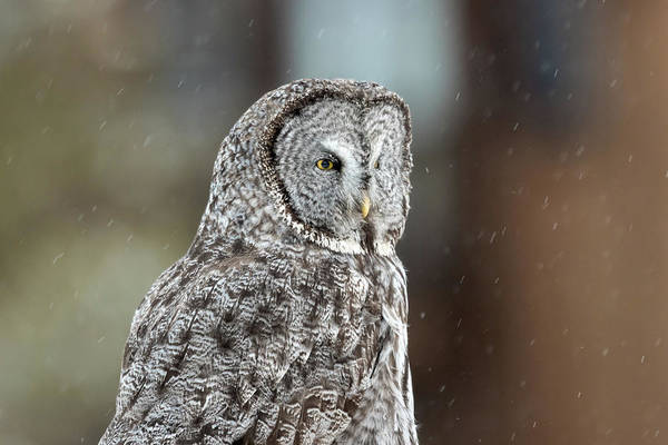 Photograph - Portrait Of An Owl by Ronnie and Frances Howard