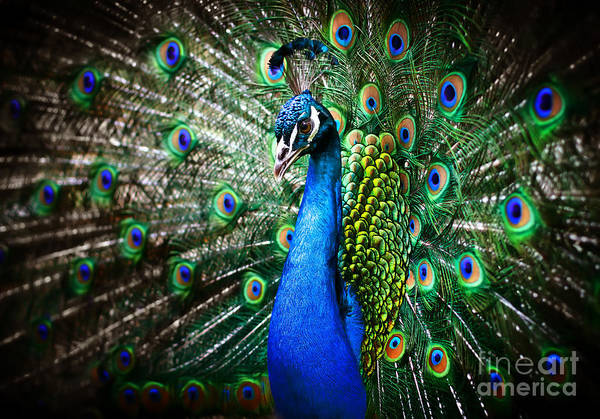 Beauty Of Nature Wall Art - Photograph - Portrait Of Beautiful Peacock With by Drop Of Light
