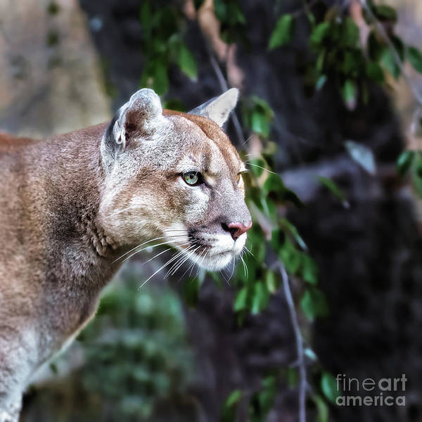 Big Cat Wall Art - Photograph - Portrait Of Beautiful Puma. Cougar by Baranov E