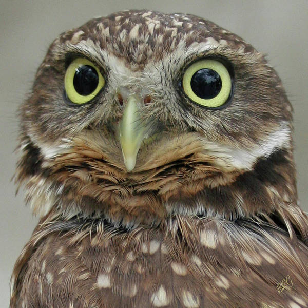 Photograph - Portrait Of Burrowing Owl by Ben and Raisa Gertsberg