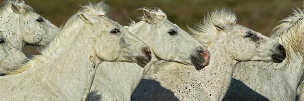 Wall Art - Photograph - Portrait Of Camargue Horses Running by Adam Jones