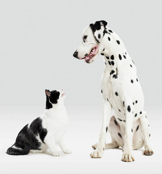 Dalmatian Photograph - Portrait Of Cat And Dog by Paul Bradbury