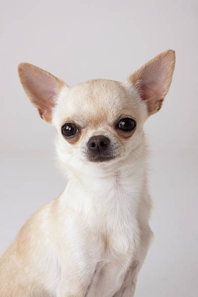 Chihuahua Photograph - Portrait Of Chihuahua by Compassionate Eye Foundation/david Leahy