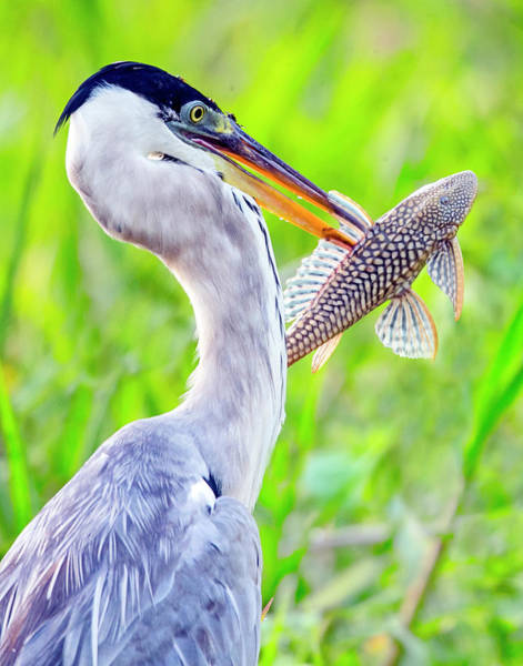 Wall Art - Photograph - Portrait Of Cocoi Heron With Fish by Panoramic Images