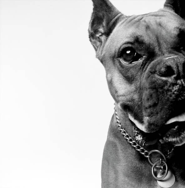 White Dog Photograph - Portrait Of Dog, Boxer, B&w by Brian Summers