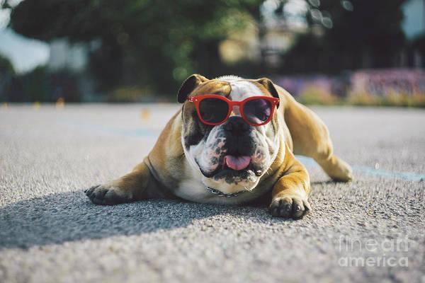 Wall Art - Photograph - Portrait Of Dog In Sunglasses Lying On by Mirko Giambanco