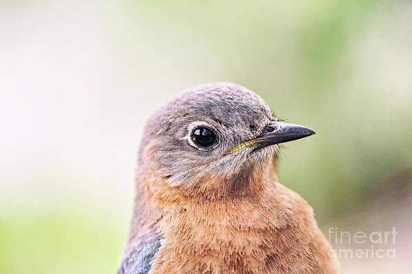 Wildbird Photograph - Portrait Of Female Eastern Bluebird by Scott Pellegrin