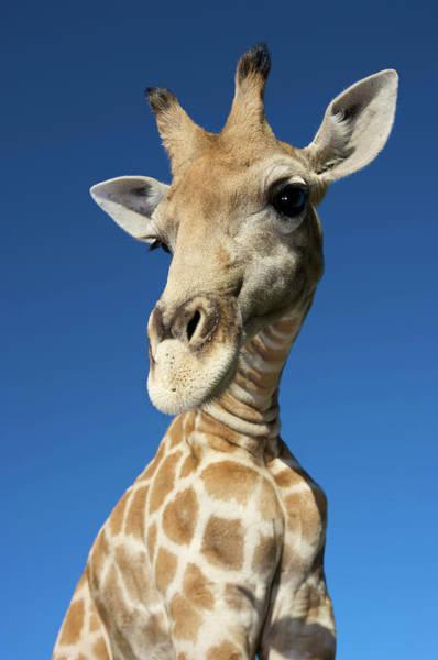Mammal Photograph - Portrait Of Giraffe Giraffa by Heinrich Van Den Berg