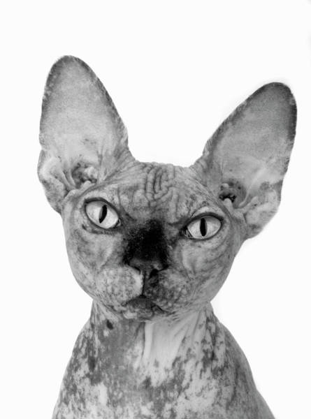 Photograph - Portrait Of Hairless Cat by Martin Rogers