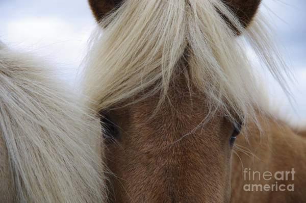 Mane Wall Art - Photograph - Portrait Of Icelandic Horses With Long by Igor Dymov