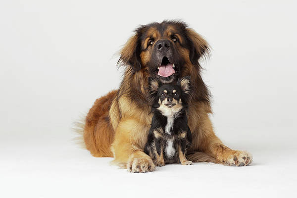 Chihuahua Photograph - Portrait Of Leonberger And Chihuahua by Compassionate Eye Foundation/david Leahy