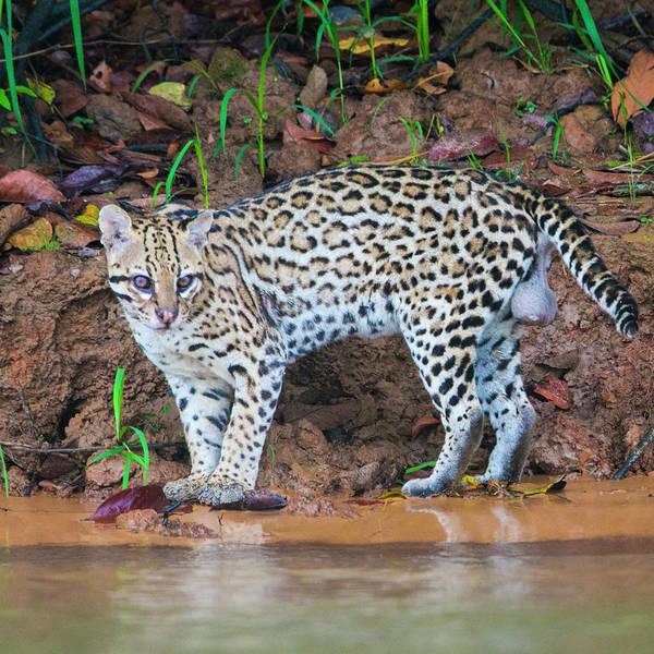 Wall Art - Photograph - Portrait Of Ocelot Leopardus Pardalis by Panoramic Images