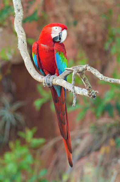 Wall Art - Photograph - Portrait Of Red-and-green Macaw, Porto by Panoramic Images